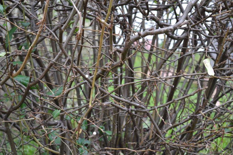 Bare bush