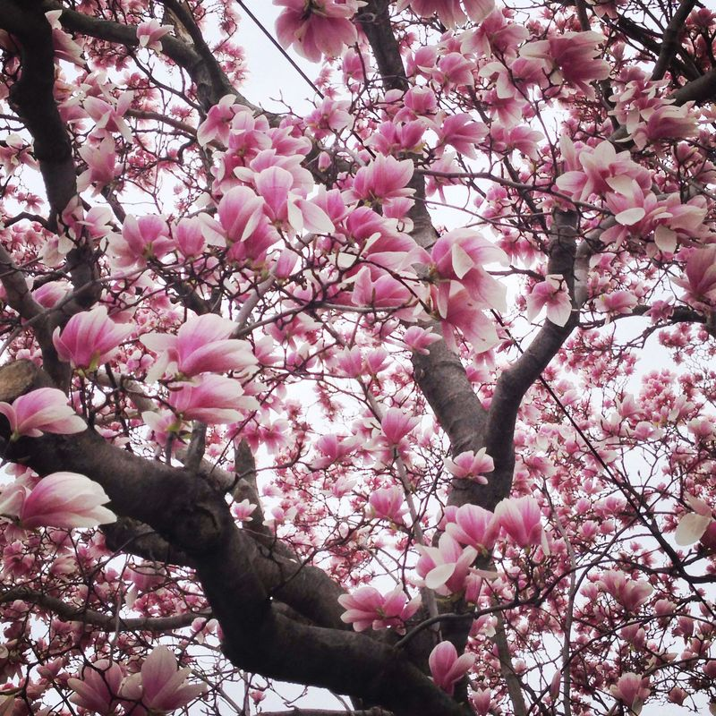 03 gorgeous magnolia tree