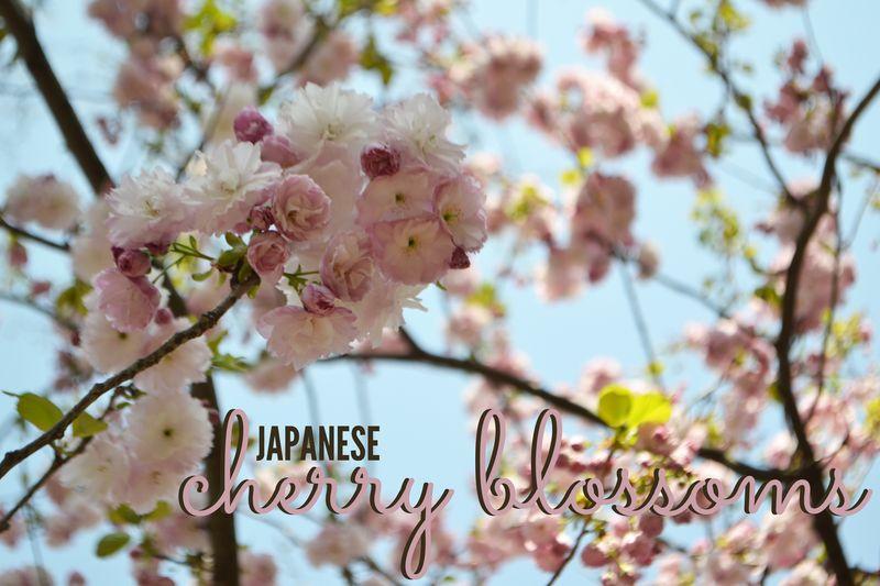 Cherry blossom 00
