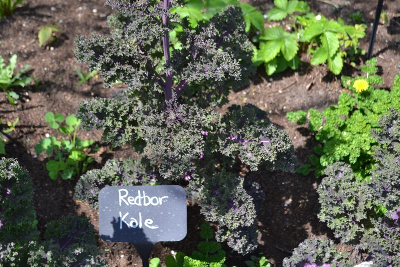 Herb garden 01 kale